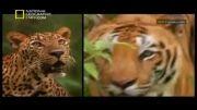توضیحات نشنال جیوگرافیک در مورد پهلوان جنگل( فارسی )
