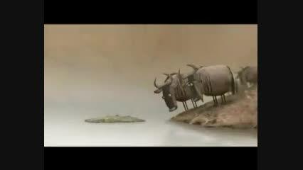 بحث علمی گاو ها