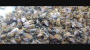 تخم گذاری زنبوران عسل کارگر