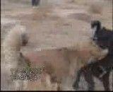 جنگ سگها