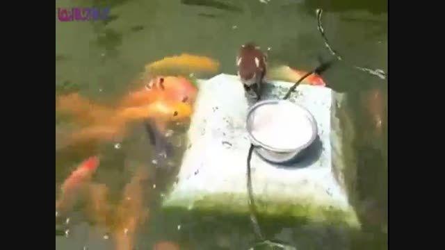غذا دادن مرغابی به ماهی+فیلم کلیپ گلچین صفاسا