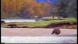 جنگ خرس وآدم
