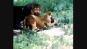 حمله شیر در افغانستان (باغ وحش کابل) جدید