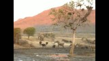 حمله فیل به بوفالو