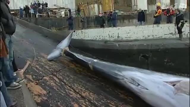 صید نهنگ غول پیکر