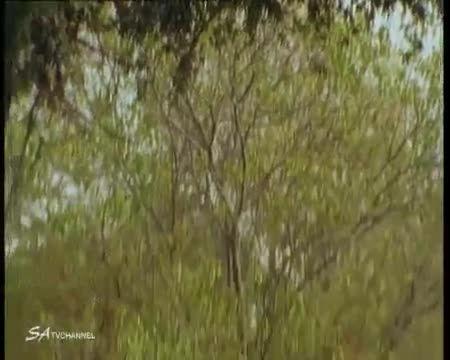 حمله پلنگ از بالای درخت