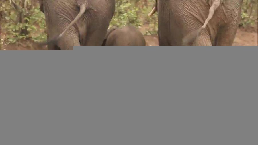 کمک فیل مادر و گله فیلها به یک بچه فیل