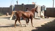 اسب کرنگ زیبا