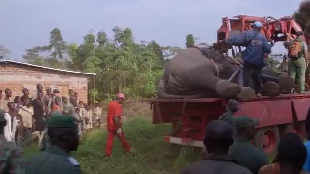 چگونه یک فیل را جابجا کنیم