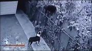 وقتی که سگهای نگهبان خودشان به سرقت میروند