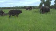 نبرد بوفالو با فیل