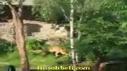 شیر  شکار در باغ وحش
