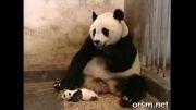 عطسه کردن بچه پاندا و واکنش مادرش