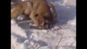 کشته شدن سگ توسط گرگ سر دعوا