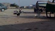 جنگ سگ و خروس ...