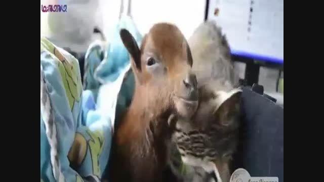 گربه مهربان و بزغاله+فیلم ویدیو کلیپ گلچین صفاسا