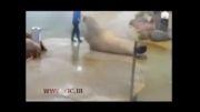 درازونشست رفتن خوک دریایی