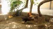 فیلم جنگ خروس سرخ خسک زاده (تاج شاخی) با خروس تاج کج افغان