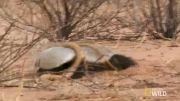نبرد کبرا با گورکن آفریقایی (دیدنی)