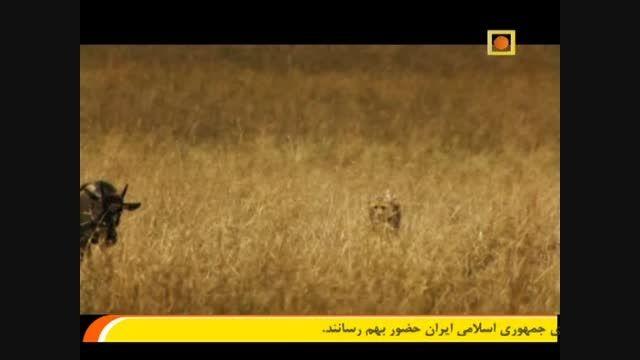 شکار گاو  وحشی توسط یوزپلنگ ها
