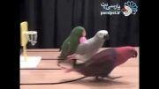 مسابقه بسکتبال طوطی ها