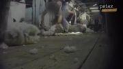 زدن پشم گوسفند بیچاره
