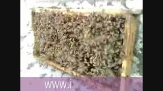 غارت عسل توسط زنبور عسل ها