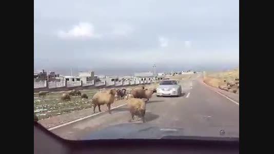 برخورد حیوان با خودرو