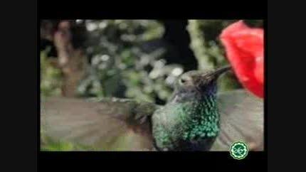 عجائب خلقت؛ پرنده ای که در هر ثانیه 25 بار بال می زند؛