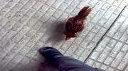 مرغ و خروس مینیاتوره جنگجو