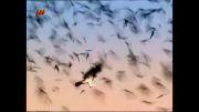 پرندگان شکاری آمریکای جنوبی