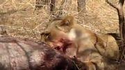 زنده خوردن گوزن توسط شیر آسیایی