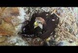 شکار عقاب شکارچی