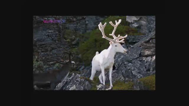 آلبینوهای عجیب حیات وحش(زال سفید)+فیلم کلیپ ویدیو