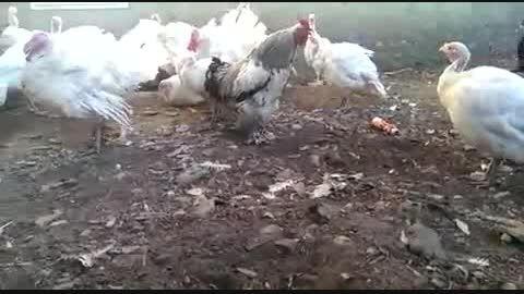 خروس نگهبان مرغ ها -مواظب باش (خنده دار
