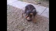 سگ دوبرمن و روتوایلر 33