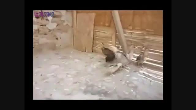 جوجه قلدر-چوری زورگو+فیلم ویدیو کلیپ بامزه جالب جذاب