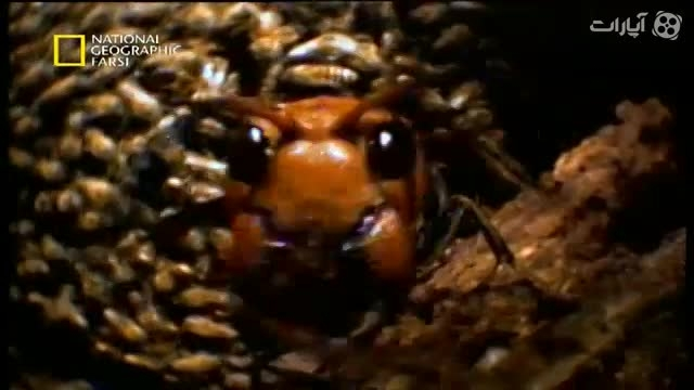 سیستم جالب دفاعی زنبور ها برای مقابله با دشمن