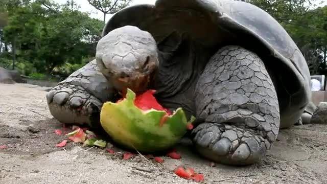 هندوانه حوردن خنده دار لاک پشت عظیم الجثه خیلی باحاله ا