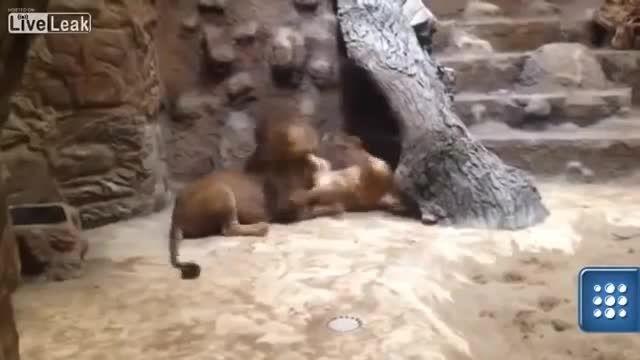☺کشتن شیر ماده در باغ وحش توسط شیر نر☺