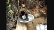 شستن ظرف توسط میمون