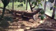 اژدهای کومودو (خوردن موش)