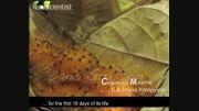 کرم سمی پروانه یا جوجه پرنده - دانستنیها