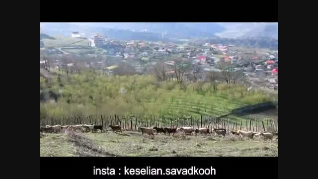 حرکت گوسفندان در روستای اتو