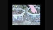 آموزش پرورش قارچ صدفی دکمه ای قسمت(2)karotejarat.rzb.ir