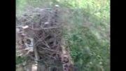 قلع و قمع درختان زالزالک در جنگل امیرآباد اشنویه