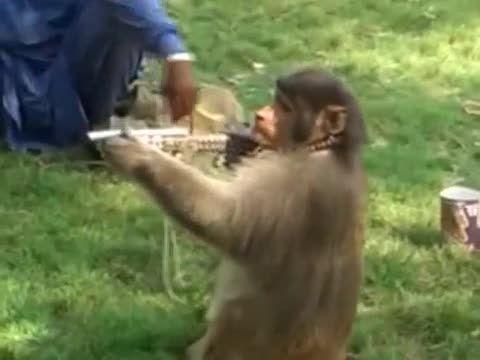 فیلمی از میمون-های دهلی- که برای گرفتن غذا دزدی میکنند!