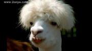 حیوانات شگفت انگیز با موهای عجیب