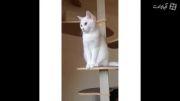 گربه لوس