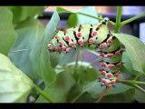 ۶٫ کرم پروانه کالتا
